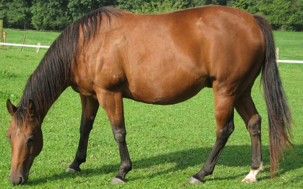 American_quarter_horse.jpg